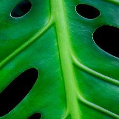 056 Monstera Leaf L077