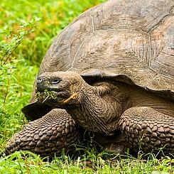 058 Galapagos Giant Tortoise 0154