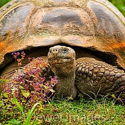 059 Galapagos Giant Tortoise 0194