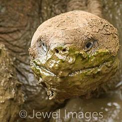 061 Galapagos Giant Tortoise 0396