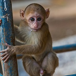 062 Baby Macaque Thailand