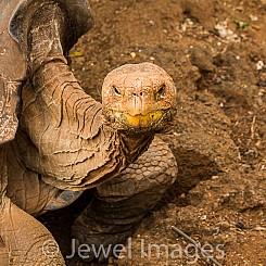 062 Galapagos Giant Tortoise 0646