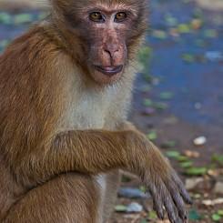 063 Macaque Thailand