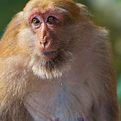 064 Grandmother Macaque Thailand