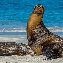 065 Galapagos Sea Lion 0813
