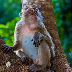 067 Macaque Thailand