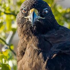 068 Galapagos Hawk 1802