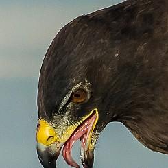 069 Galapagos Hawk 1962