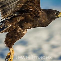 070 Galapagos Hawk 2019