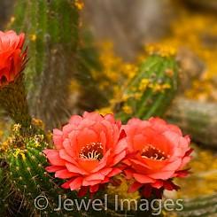 070 Torch Cactus AZ