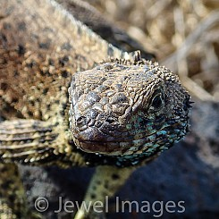 075 Lava Lizard 0042