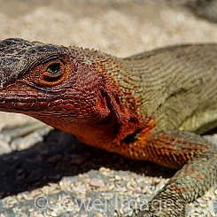 076 Lava Lizard 0064