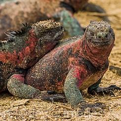 079 Marine Iguana 0164