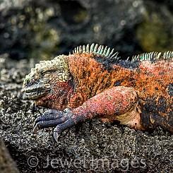 080 Marine Iguana 0298
