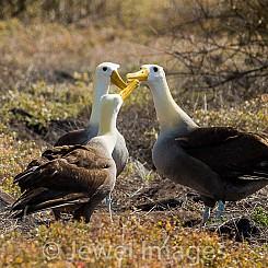 083 Waved Albatross 0595
