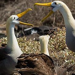 084 Waved Albatross 0642