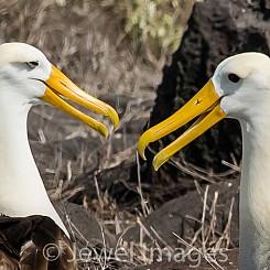 085 Waved Albatross 0721