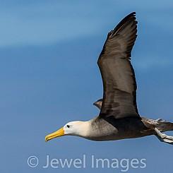 087 Waved Albatross 0830