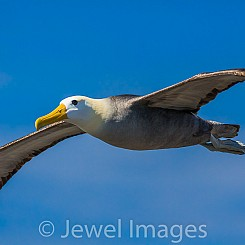 088 Waved Albatross 0934