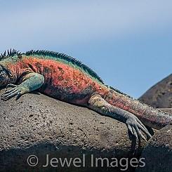 092 Marine Iguana 1470