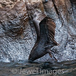 093 Brown Pelican 0062
