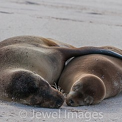 095 Galapagos Sea Lion 0208