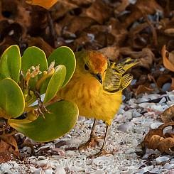 096 Yellow Warbler 0279