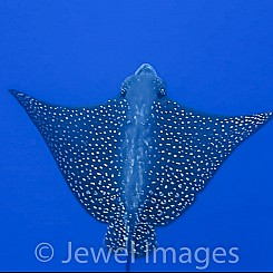 099 Spotted Eagle Ray 02496