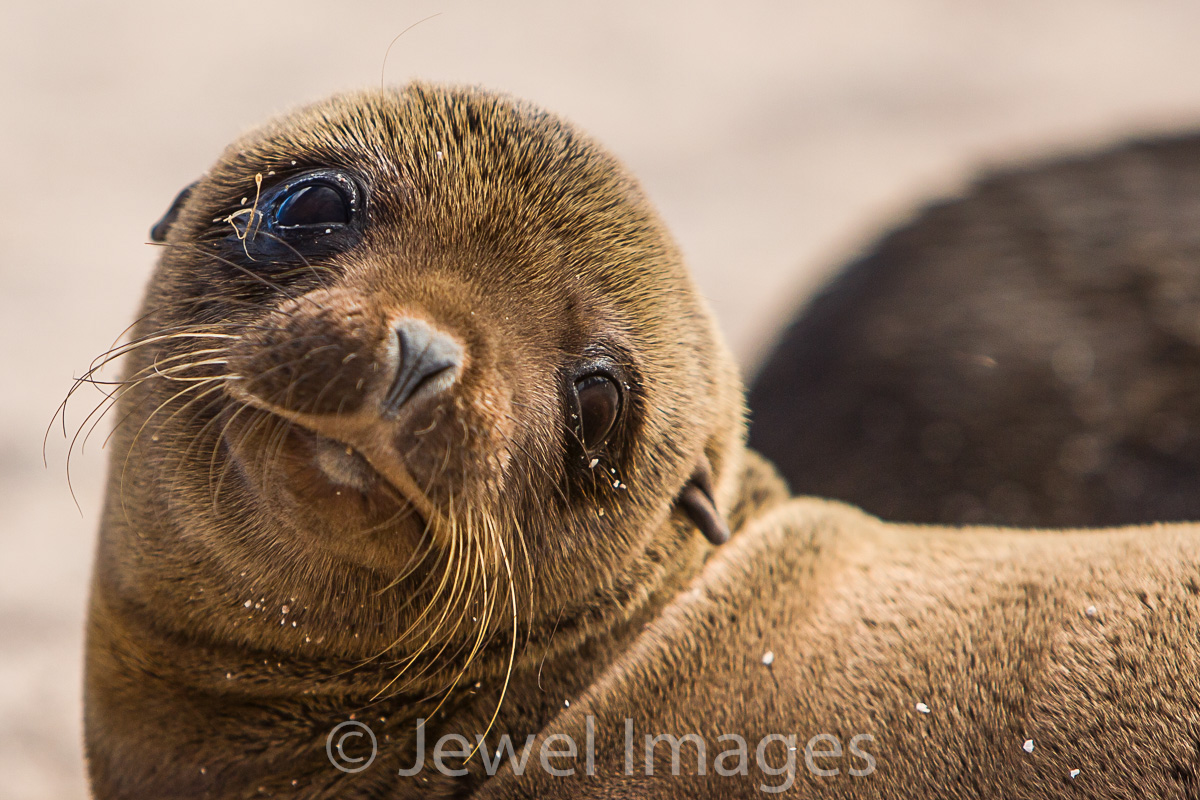 Galapagos Sea Lion pup 1