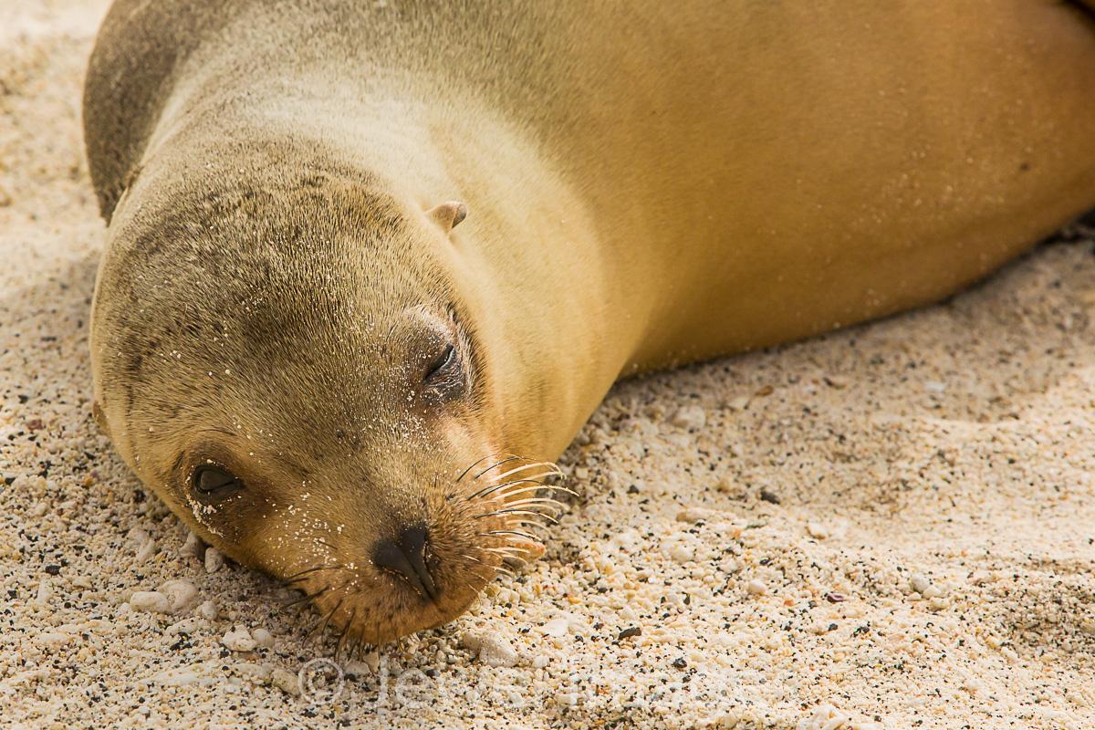 Galapagos Sea Lion pup 2