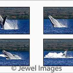 037 Humpback Whale Breach Sequence 2 W047