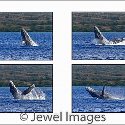 042 Humpback Whale Breach Sequence 3 W047