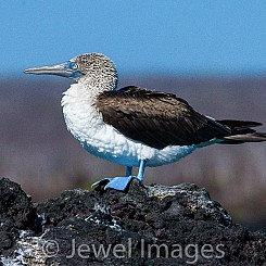 047 Blue footed Booby 0466