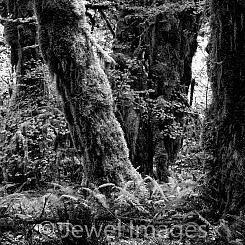047 Hoh Rainforest Olympic NP