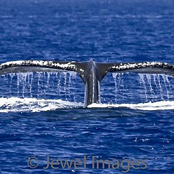 049 Humpback Whale Tail 6 W032