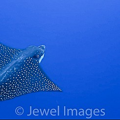 098 Spotted Eagle Ray 02494